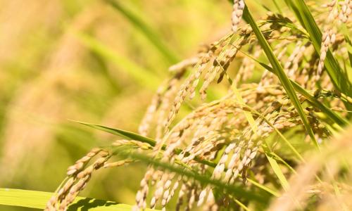 稲由来の植物性ケイ素で骨密度の上昇